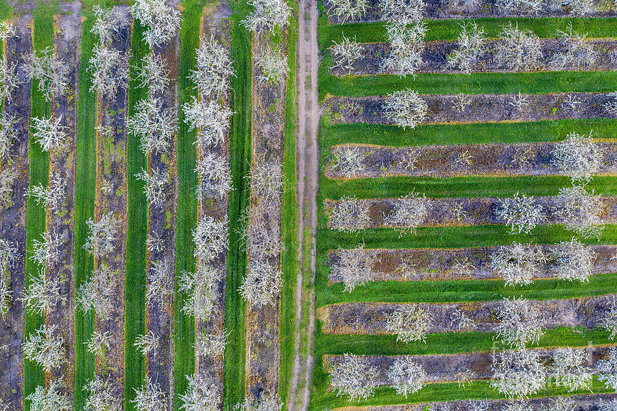 Old Mission Photograph - Old Mission Cherry Farm Aerial by Twenty Two North Photography