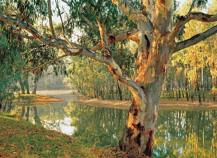 Old River Red Gum Eucalyptus By Australian Scenics