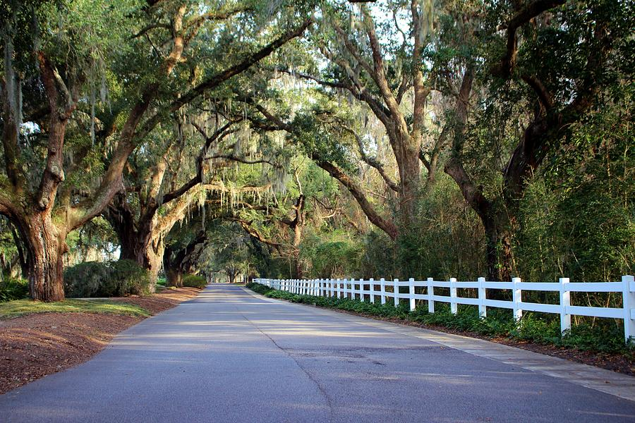 Old South Live Oaks by Cynthia Guinn