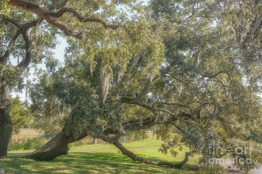 Old South - Quercus Virginiana Photograph