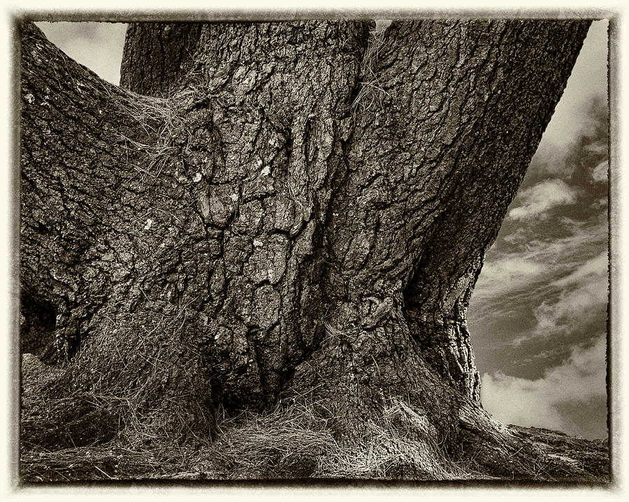 Old Tree Trunk Monochrome by Phil Cardamone