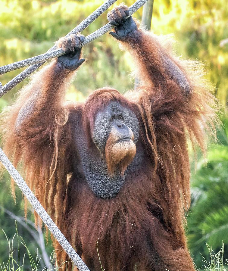 Older Orangutan by Christopher Cutter
