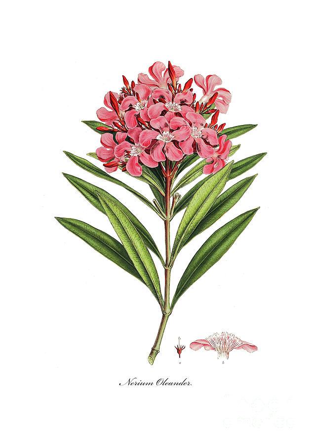 Oleander by Ferdinand Bauer