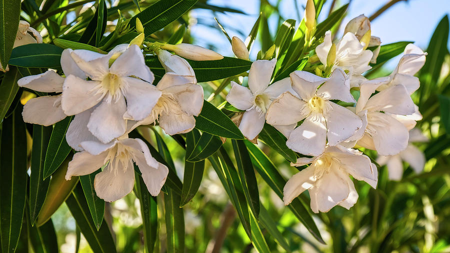 Oleander Flowers h1929 by Mark Myhaver