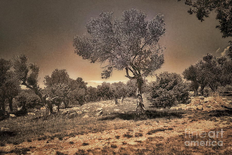 Olive Garden In Infrared Photograph