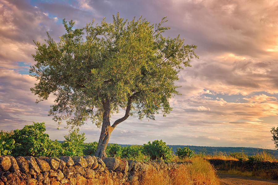 Olive Tree Photograph by Willselarep