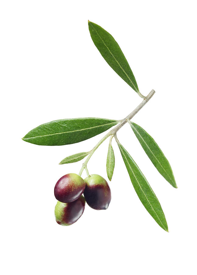 Olives On Branch Photograph by Lauren Burke