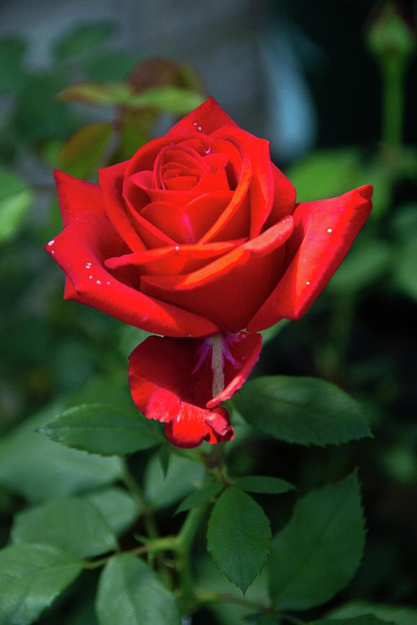 Olympiad Rose-2 by Jennifer Wick
