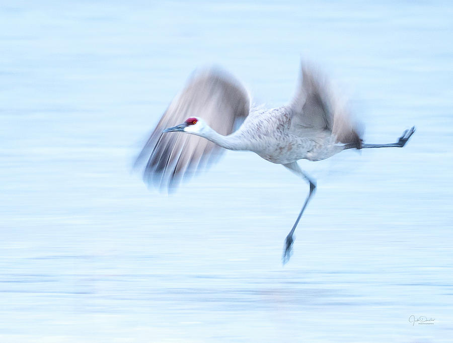 Olympic Ice Skating Champion, Ms Sandhill Crane by Judi Dressler