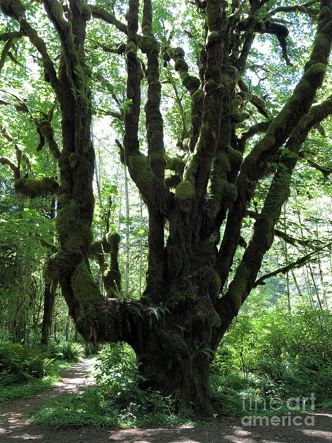 Olympic National Rain Forest III by Molly Williams