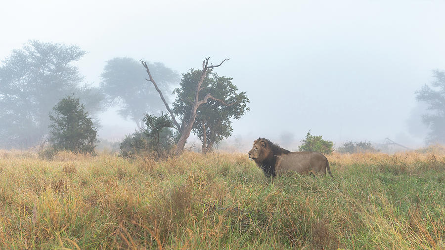 Lion Photograph - On The Hunt by Hamish Mitchell