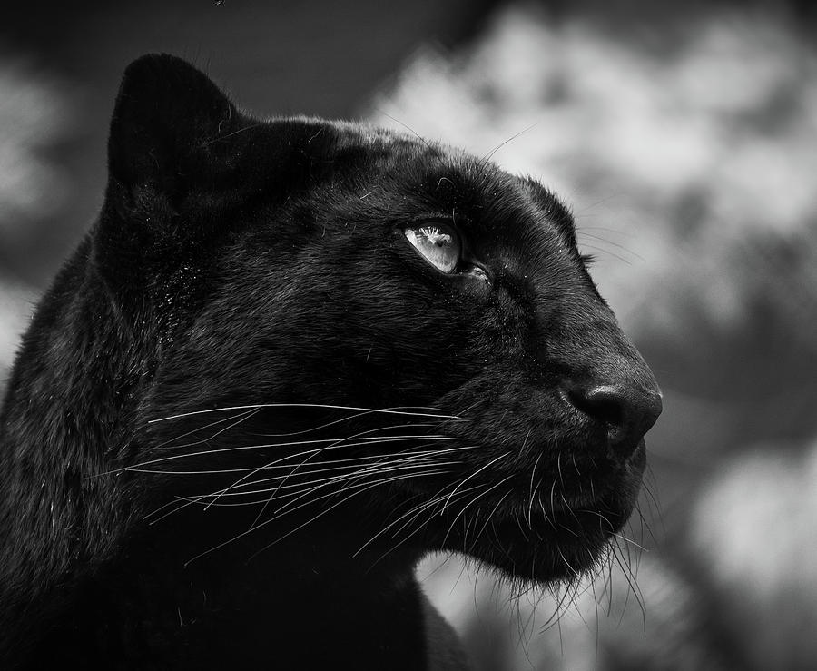 Black Leopard Photograph - On the look out by RT Photography