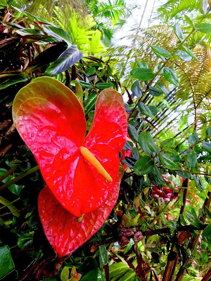 One Anthurium Robin by Joalene Young