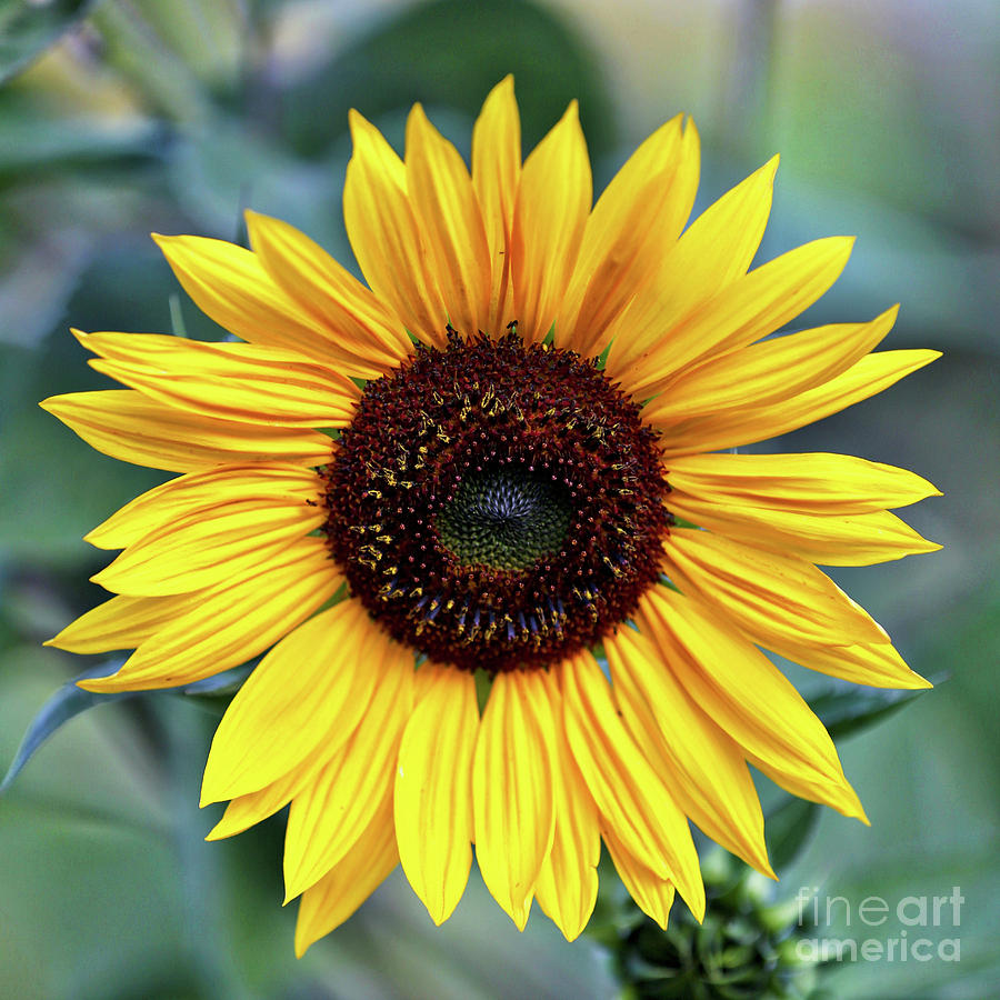 One Bright Sunflower Photograph By Carol Groenen