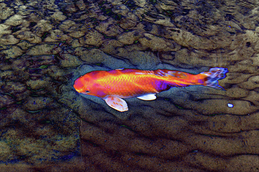 Color Digital Art - One Gold Fish by Tom Kelly