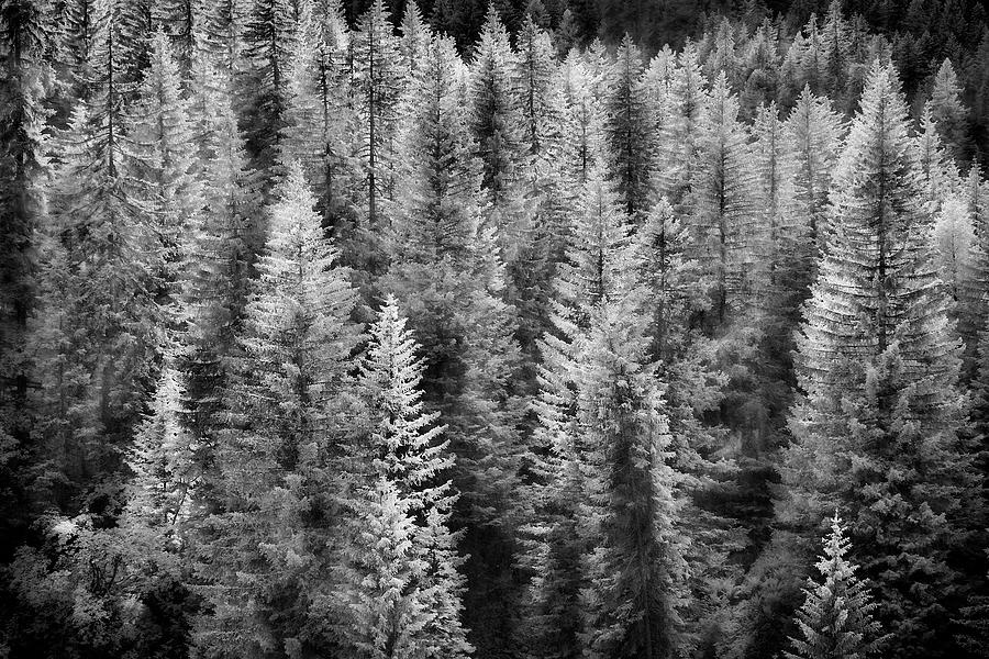 Black And White Photograph - One Of Many Alp Trees by Jon Glaser