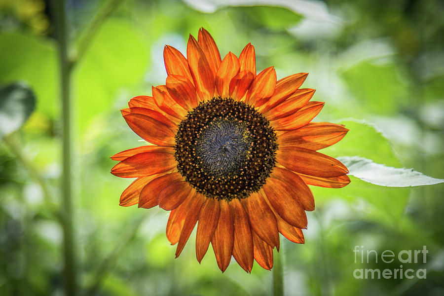 One Orange Sunflower by Lisa Lemmons-Powers