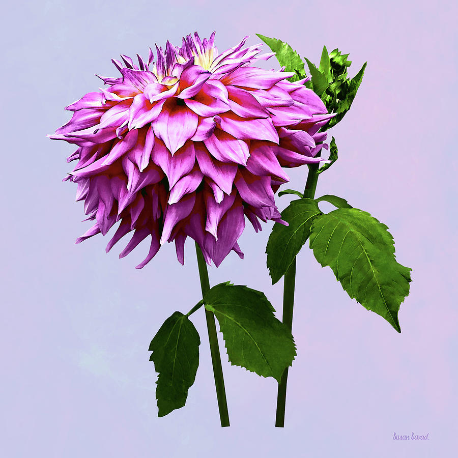 One Pink Dahlia and Buds by Susan Savad