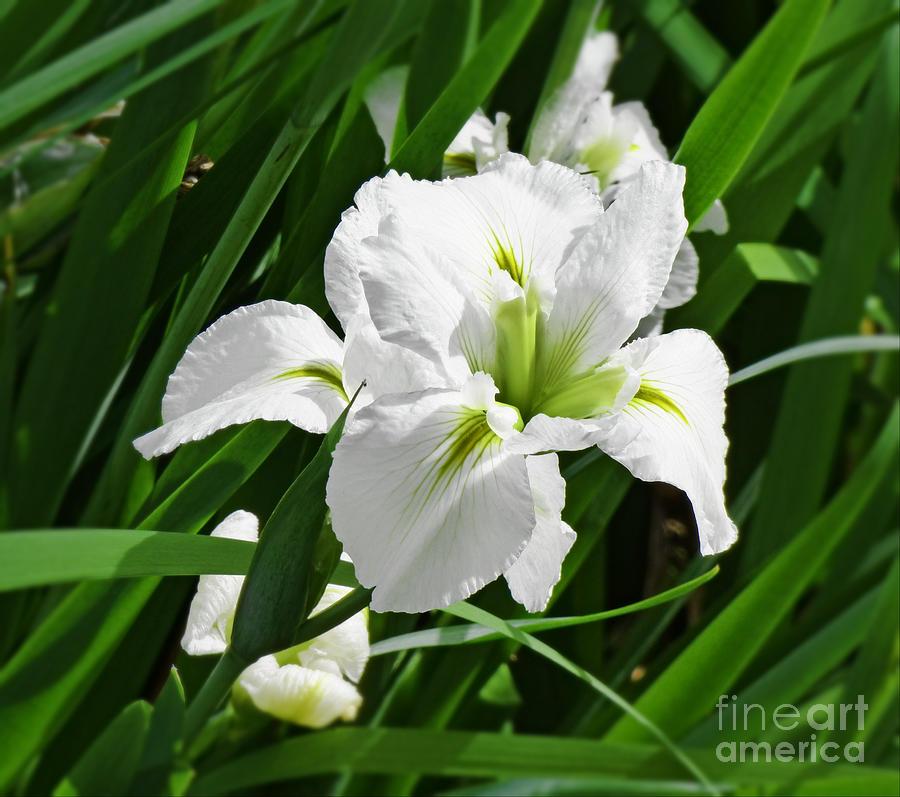 One White Iris. by Trudee Hunter