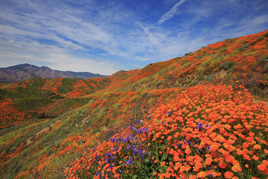 2019 Photograph - Oodles Of Poppies Fill The Walker Canyon Of Lake Elsinore, Calif by Bridget Calip