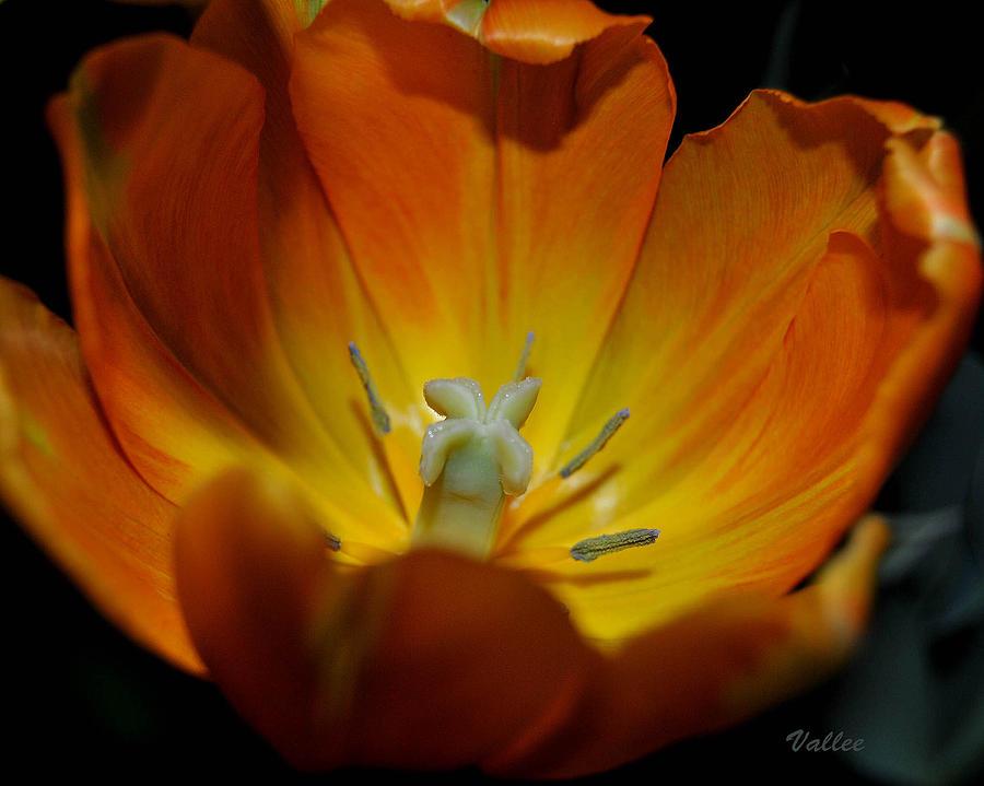 Open Tulip 2 by Vallee Johnson