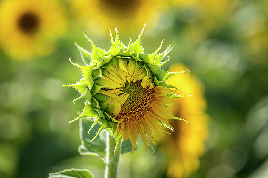 Opening Yellow Sunflower by Teri Virbickis