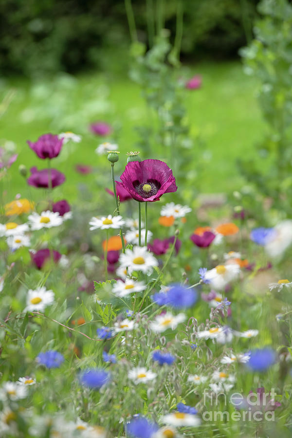 Flower Photograph - Opium Poppy Laurens Grape by Tim Gainey