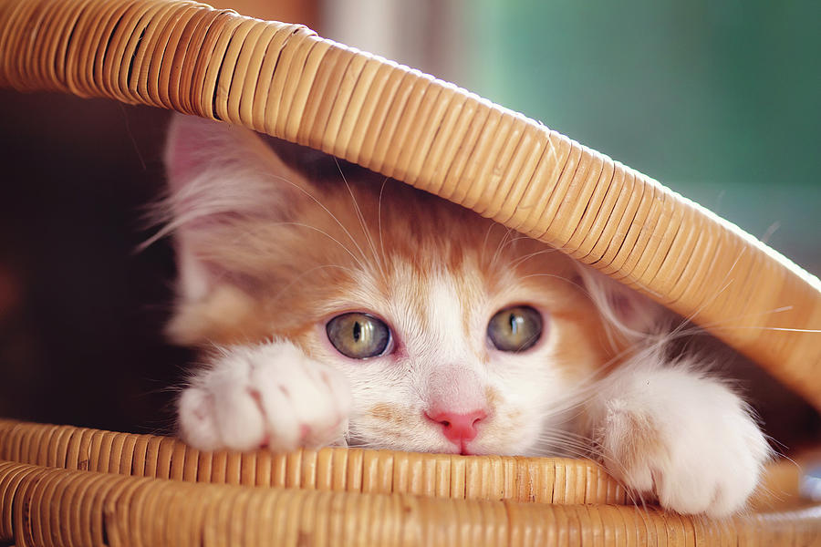 Pets Photograph - Orange And White Kitten In Basket by Sarahwolfephotography