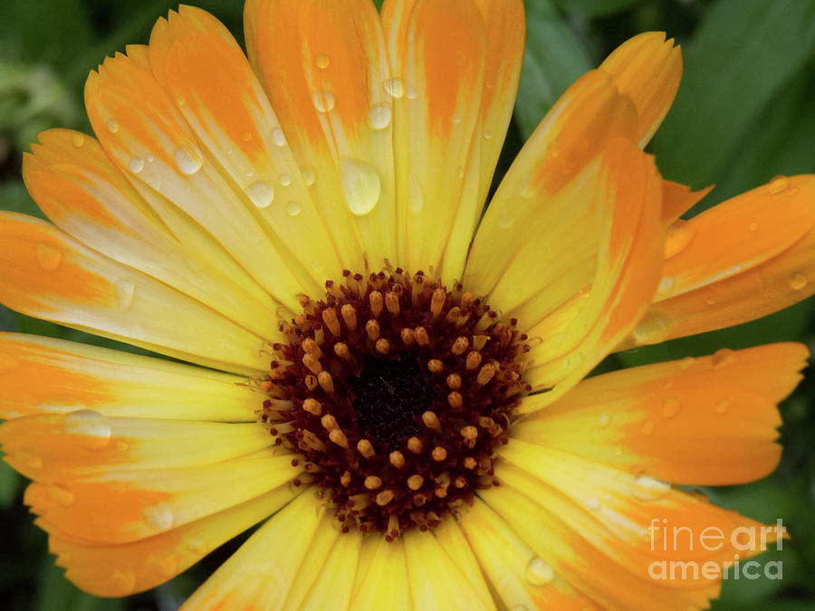 Orange and Yellow Daisy by Christy Garavetto