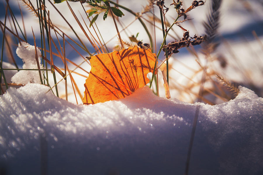 Orange Aspen Leaf On The Ground In The Snow by Jeanette Fellows