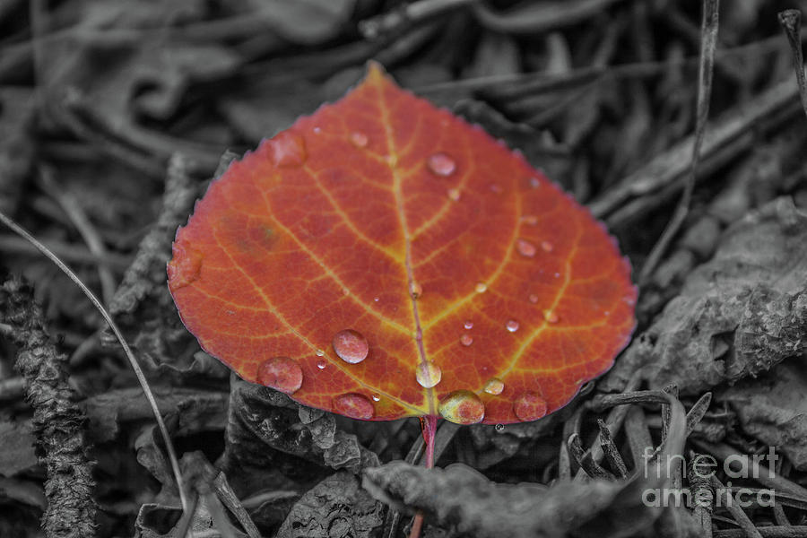 Orange Aspen Leaf by Tony Baca