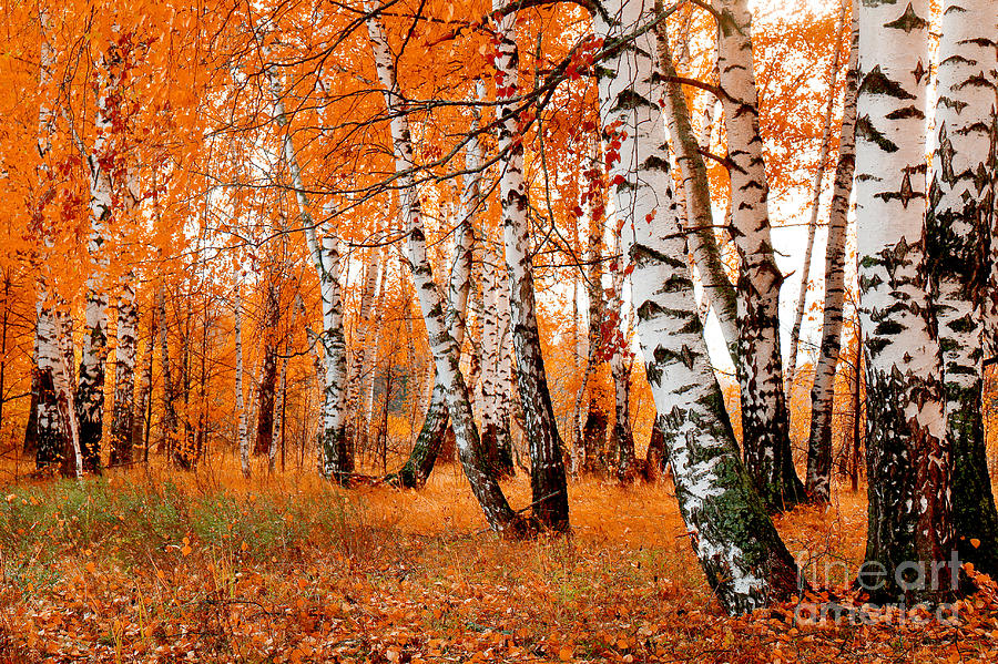 Beauty Photograph - Orange Birch Grove by Kirillov Alexey