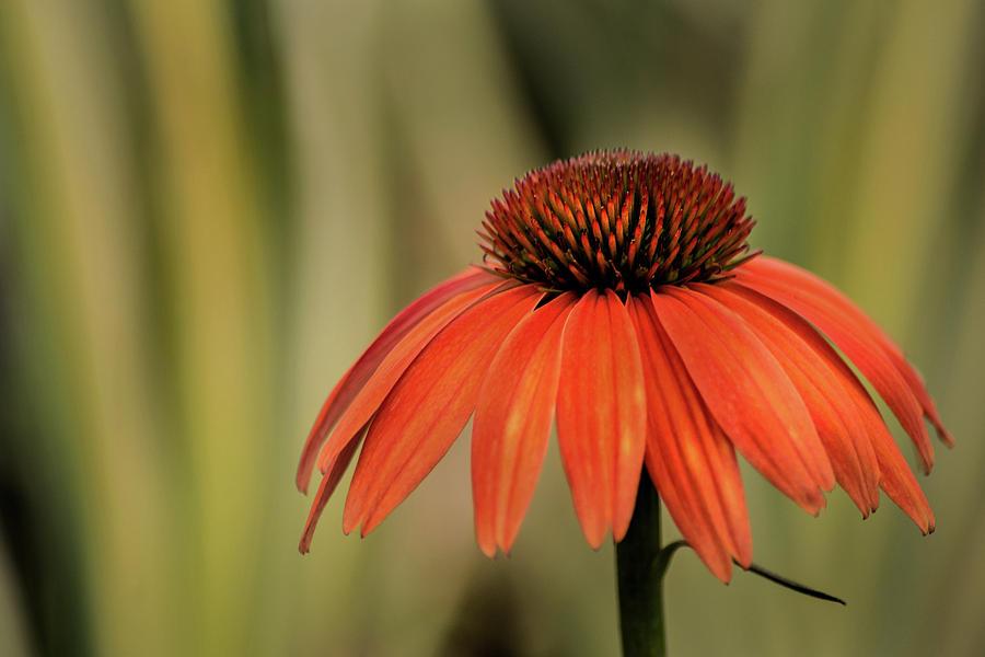Orange Cone Flower by Don Johnson