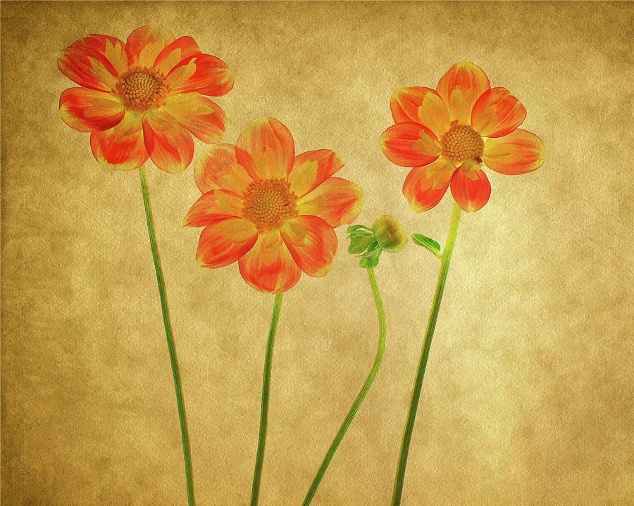 Orange Dahlia 1 by Rebecca Cozart