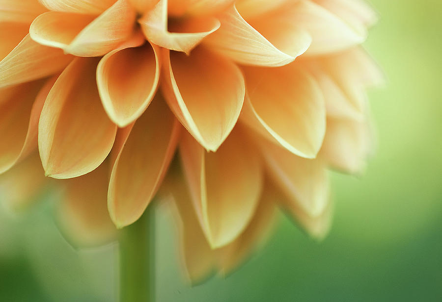 Orange Dalia Photograph by C.aranega