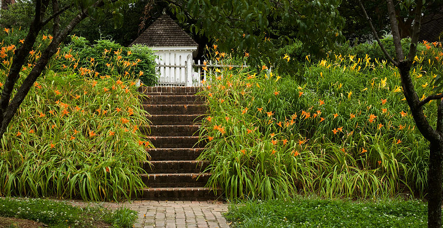 Orange Daylilies in June by Rachel Morrison
