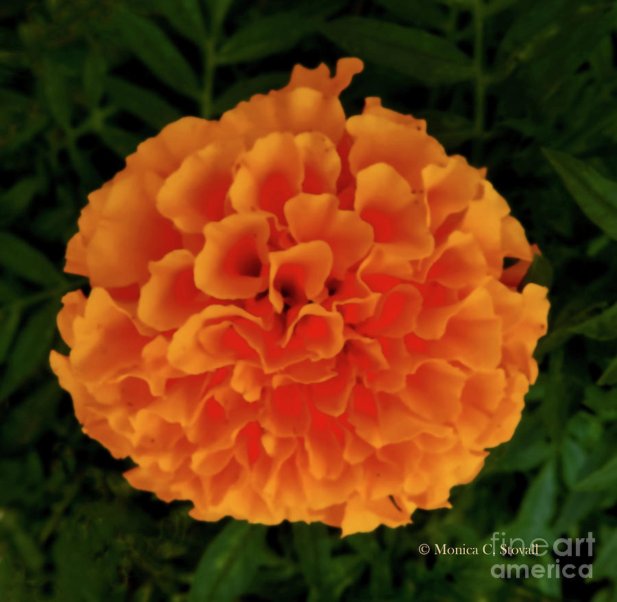 Orange Flowers No. O15 by Monica C Stovall