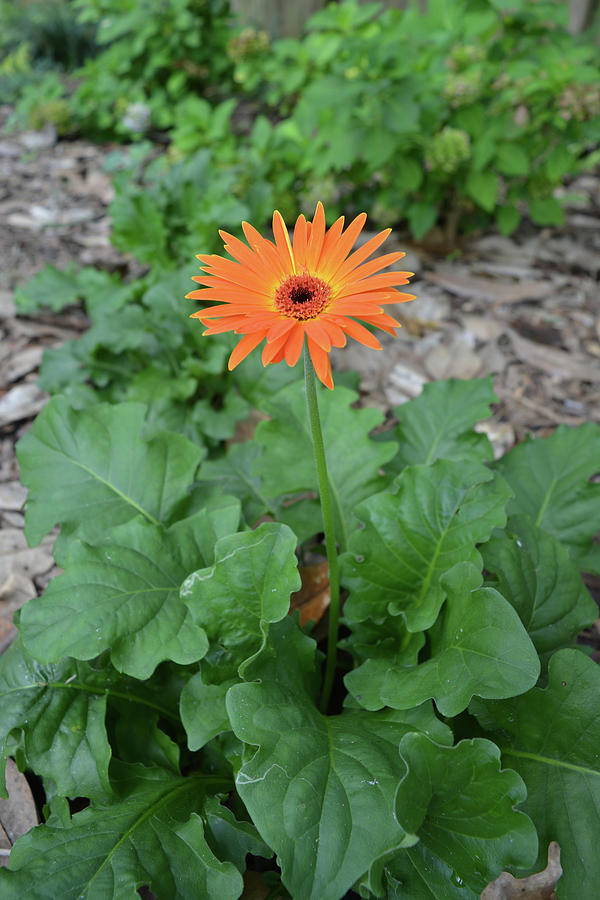 Orange Gerbera daisy In Bloom by Aimee L Maher ALM GALLERY
