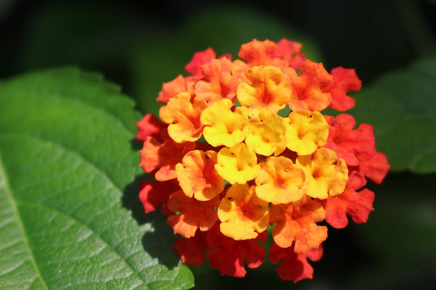 Orange Lantana by Christopher Lotito