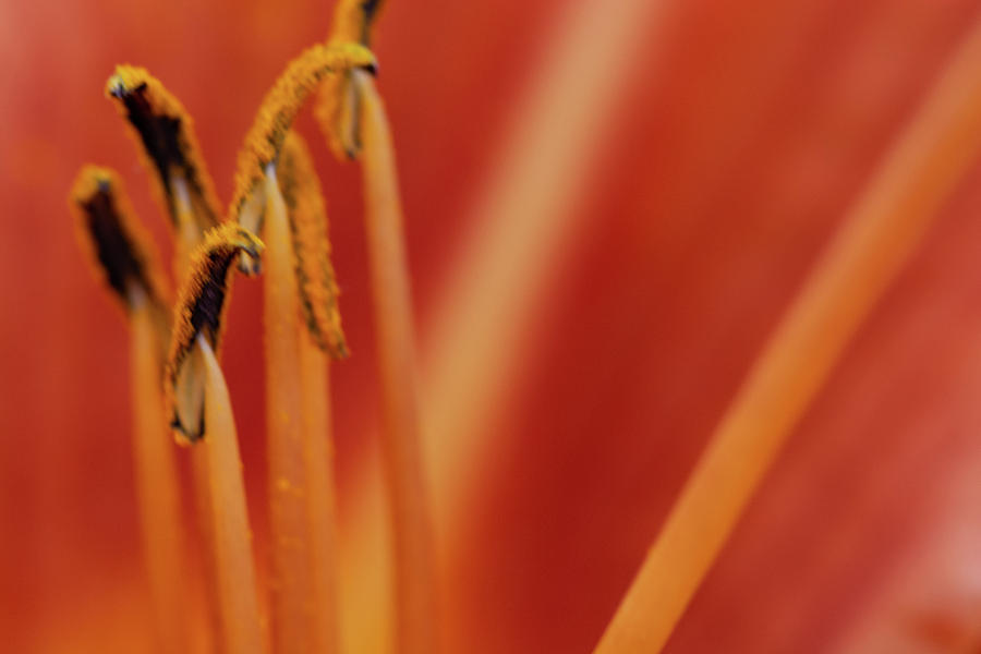 Orange Lily Stamens by Steve Purnell