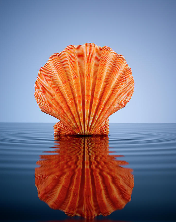 Orange Lion Paw Shell In A Pool Of Water Photograph by Chris Stein