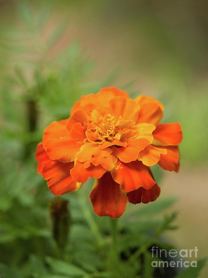 Orange Marigold by Dorothy Lee