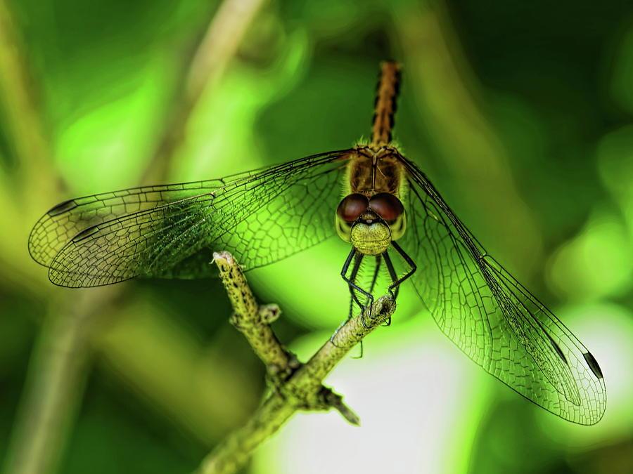 Orange Meadowhawk Dragonfly Resting by Dale Kauzlaric