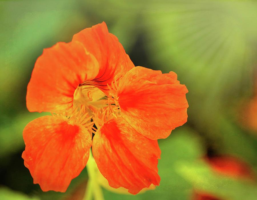 Orange Nasturtium Photograph
