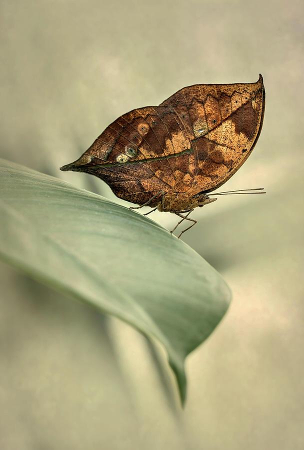Orange oakleaf butterfly by Jaroslaw Blaminsky