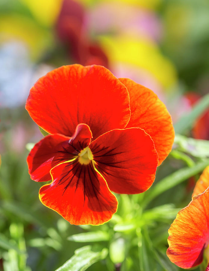 Orange Pansy  by Iris Richardson