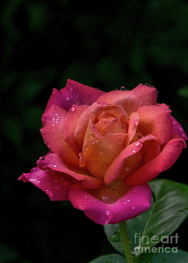Orange-pink Rose by Annerose Walz