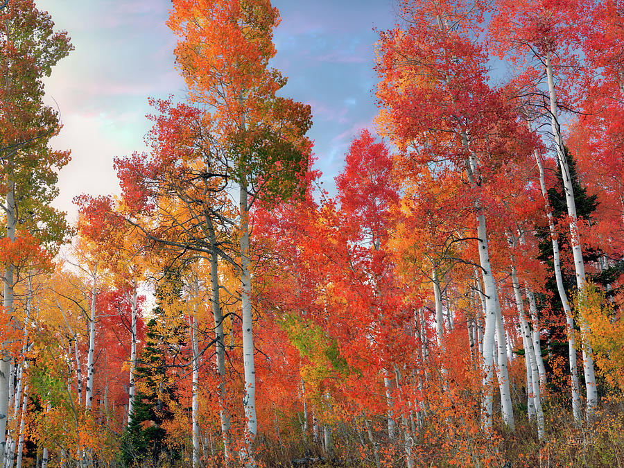 Orange Red and Yellow Aspen Blend by Leland D Howard