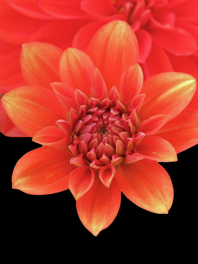 Orange Red Dahlia Opening Up by Johanna Hurmerinta
