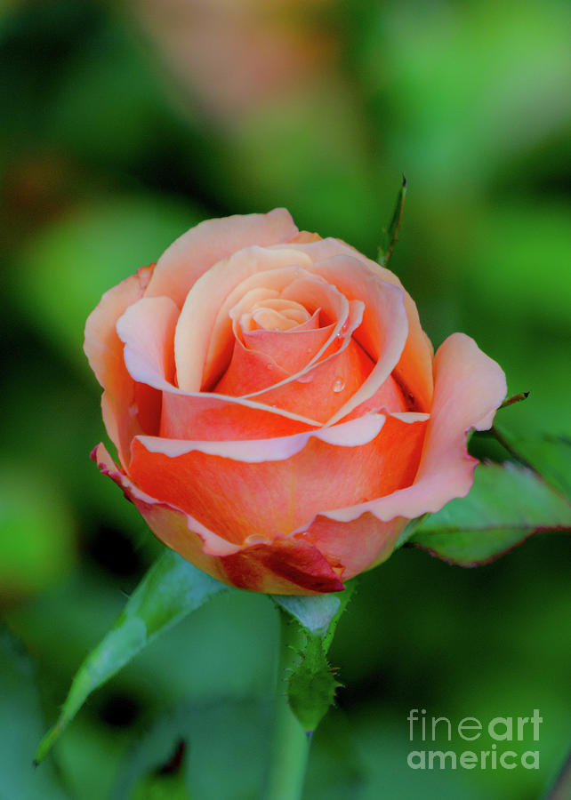 Orange-red Rose by Annerose Walz
